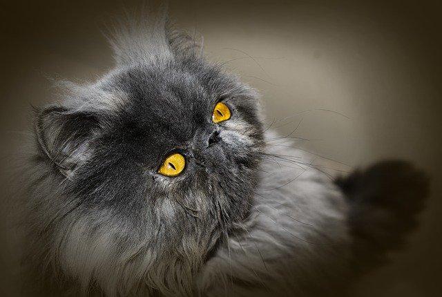 猫 種類 おとなしい の